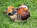 Mandarin Ente sitzt im Gras.jpg