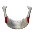 Mandibular angle - close-up - posterior view.png