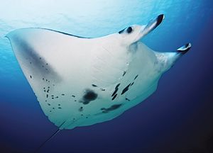 Manta ray - Manta alfredi with mouth closed, cephalic fins rolled and ventral surface showing distinctive markings