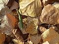 Mantis religiosa Marisorgin bat orbelean 1.jpg