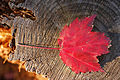 Maple Leaf Red Stump 3008px.jpg