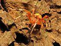 Marbled Orbweaver - Flickr - treegrow (4).jpg