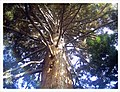 March Spring Sequoia Redwood 80 Meter Botanischer Garten Freiburg - Master Botany Photography 2013 - panoramio.jpg