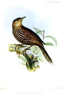 MargarornisBrunnescensWolf.jpg