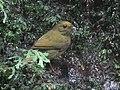 Masius chrysopterus (hembra female) (34186809920).jpg