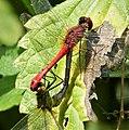 Mating Ruddy Darters. Sympetrum sanguineum (45603896404).jpg
