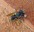 Megachilidae - Flickr - gailhampshire.jpg