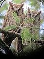Megascops choliba Currucutú Tropical Screech-Owl (6498526193).jpg