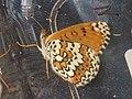 Melitaea cinxia - Glanville fritillary - Шашечница обыкновенная (41152380491).jpg