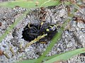 Mellinus arvensis (Crabronidae) - Kotwespe (10797555594).jpg
