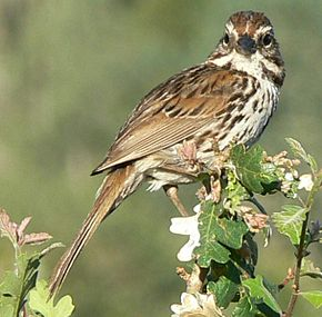 un oiseau -ajonc- 19 février bravo Martine  290px-Melospiza_melodia_4