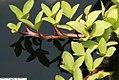 Menyanthes trifoliata 7zz.jpg
