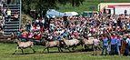 Merfeld, Wildpferdefang -- 2014 -- 0625.jpg