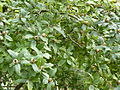 Mespilus germanica-Jardin des Plantes.JPG