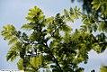 Metasequoia glyptostroboides 9zz.jpg