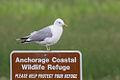Mew Gull, Anchorage Coastal NWR.jpg