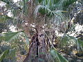 Mexican fan palm (3128203970).jpg