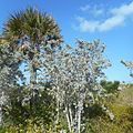 Miami Beach - Sand Dunes Flora - Silver Buttonwood and Palm.jpg
