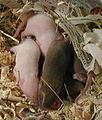 Mice 24 Nov 2004.jpg