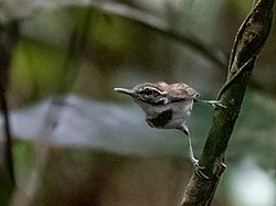 Microbates collaris - Collared Gnatwren; Presidente Figueiredo, Amazonas, Brazil.jpg