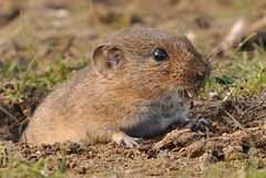 Microtus guentheri (cropped).jpg