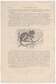 Midas oedipus - 1700-1880 - Print - Iconographia Zoologica - Special Collections University of Amsterdam - UBA01 IZ20200040.tif