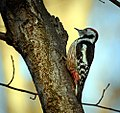 Middle spotted woodpecker (23908117065).jpg