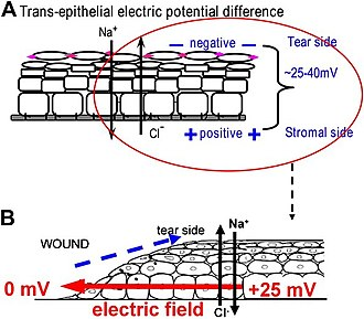 Bioelectricity - Figure 3 - Electric potential difference across corneal epithelium, and the generation of wound electric fields.