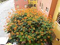 Mini Flamboyant Caesalpinia pulcherrima.jpg