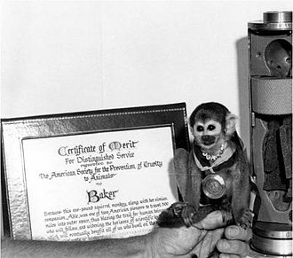 "American Society for the Prevention of Cruelty to Animals - Squirrel monkey ""Miss Baker"" poses with the Certificate of Merit for Distinguished Service she was awarded by the ASPCA after her successful return to earth, the associated medal, and the couch used for her flight (to the right). Baker and her traveling companion Able were the first animals to return alive from space."