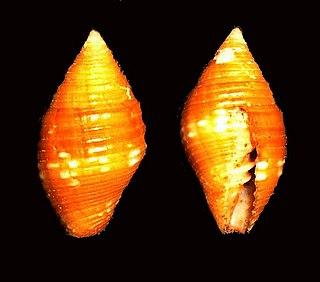 <i>Pseudonebularia cucumerina</i> species of mollusc