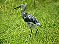 Molting Blue Heron (4797631589).jpg