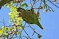 Monk Parakeet (Myiopsitta monachus) eating elm seeds ... (26596576142).jpg