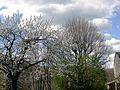 Montjoux Cerisiers en fleurs.JPG