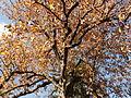 Morris Arboretum Magnolia acuminata.JPG