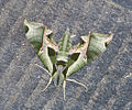 MothPandorus Sphinx.jpg