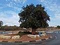 Mount Tabor oak circle in Hod Hasharon.jpg