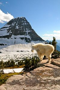 Mountain Goat Encounter (9270304000).jpg