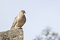 Mourning Dove (20070549416).jpg