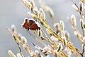 Mourning cloak (Nymphalis antiopa) on willow buds (48015900313).jpg