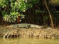 Mugger Crocodile Crocodylus palustris Zuari Goa by Dr. Raju Kasambe DSCN0812 (1).jpg