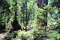Muir Woods National Monument, CA - panoramio (1).jpg