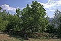 Mulberry tree at Ogren-Kostrec 2.jpg