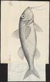 Mullus surmuletus - 1774-1804 - Print - Iconographia Zoologica - Special Collections University of Amsterdam - UBA01 IZ13000318.tif