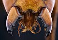 Murder hornet, f, mandibles of death 2020-10-01-19.13.54 ZS PMax UDR (50408183302).jpg