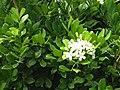 Murraya paniculata.jpg
