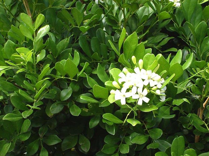 Image:Murraya paniculata.jpg