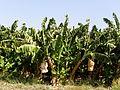 Musa acuminata5.JPG