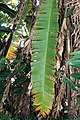 Musa zebrina 4zz.jpg