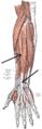 Musculus extensor digitorum.PNG